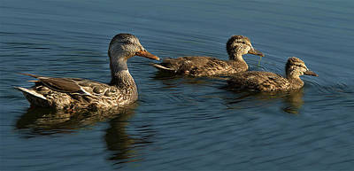 Photograph - Mallard Family Outing by Jean Noren