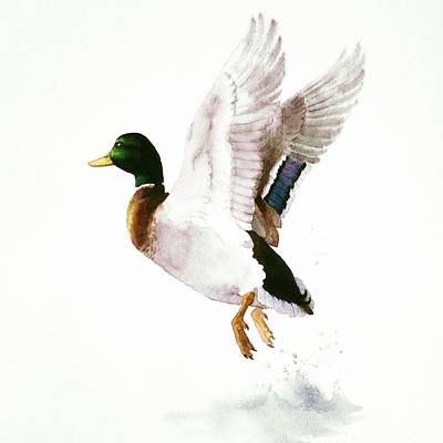 Painting - Mallard Flying Away Watercolor by Attila Meszlenyi