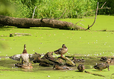 Photograph - Mallard Gathering by Edward Peterson
