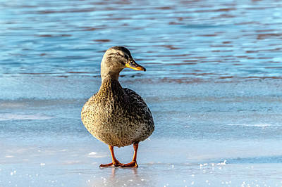 Photograph - Mallard Hen At Icy Beach by Yeates Photography