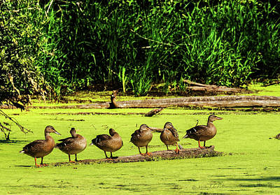 Photograph - Mallard Hen Sisters by Edward Peterson