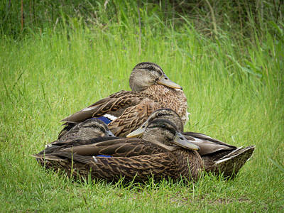 Photograph - Mallard Hen Stack by Patti Deters