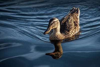 Photograph - Mallard Hen Swimming On The Flat River by Randall Nyhof