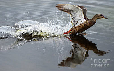 Photograph - Mallard Hen Taking Off 1 by Bob Christopher