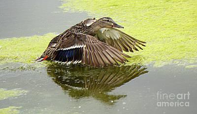 Photograph - Mallard Hen Taking Off 2 by Bob Christopher