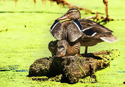 Photograph - Mallard Hen Wing Stretch  by Edward Peterson