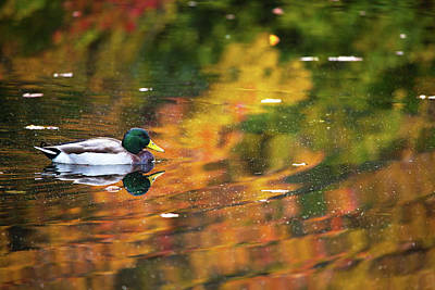 Photograph - Mallard In Autumn by Karol Livote