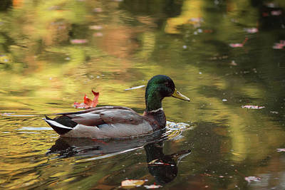 Photograph - Mallard In Autumn by Keith Boone
