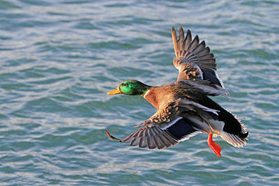 Photograph - Mallard In Flight 3 by Shoal Hollingsworth