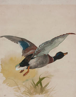 Falcon Painting - Mallard In Flight by Archibald Thorburn