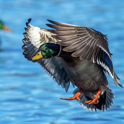 Photograph - Mallard In Flight Close Up  by Paul Freidlund