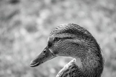 Mallard In Monochrome Art Print