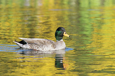 Photograph - Mallard In Yellow by Karen Van Der Zijden