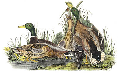 Mallard Ducks Painting - Mallard by John James Audubon