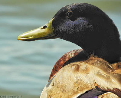 Photograph - Mallard by Kathi Isserman