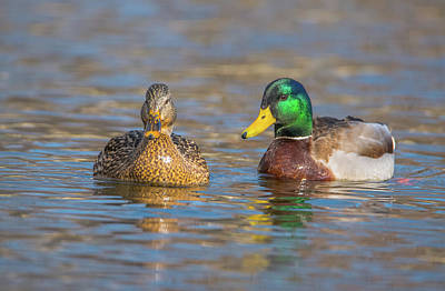 Photograph - Mallard Mates by Jeff at JSJ Photography