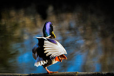 Photograph - Mallard by Michele Wright