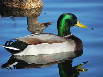 Wall Art - Photograph - Mallard by Mickey Murphy