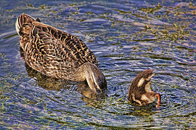 Photograph - Mallard Mom And Baby by HH Photography of Florida