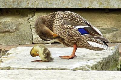 Mallard Mother And Baby Art Print by Mary Lucuski