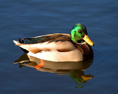 Photograph - Mallard by  Newwwman