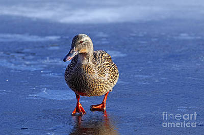 Photograph - Mallard On Ice by Sharon Talson