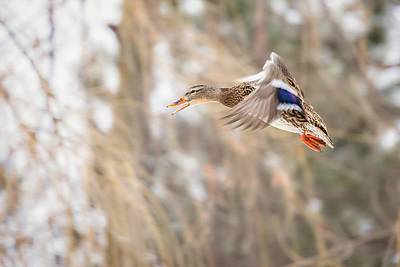 Photograph - Mallard On The Move by Penny Meyers