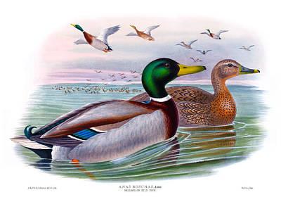 Mallard Or Wild Duck Antique Bird Print Joseph Wolf Birds Of Great Britain  Art Print by Orchard Arts