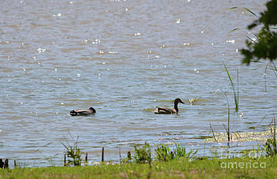Photograph - Mallards Out For A Swim by Ruth Housley