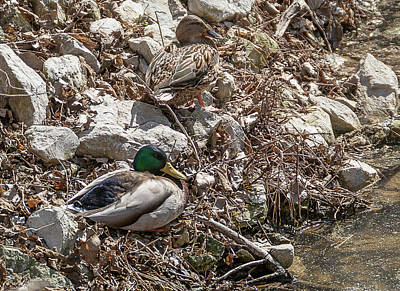 Photograph - Mallard Pair by Edward Peterson