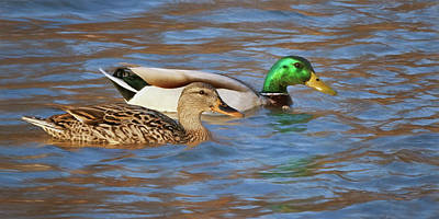 Photograph - Mallard Pair by Nikolyn McDonald