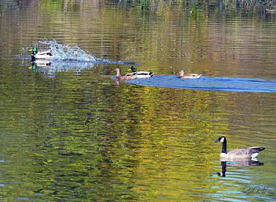 Photograph - Mallard Splash Landing by Michele Avanti