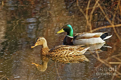 Photograph - Mallard Spring Pair by Natural Focal Point Photography