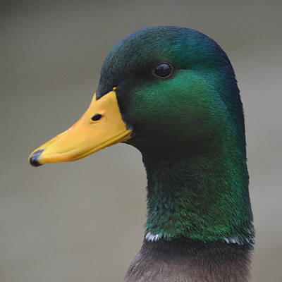 Photograph - Mallard - Square by Richard Andrews