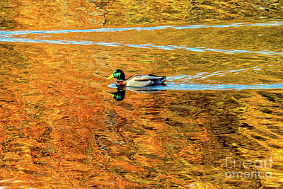 Photograph - Mallard Swimming On Golden Pond by Kimberly Nyce