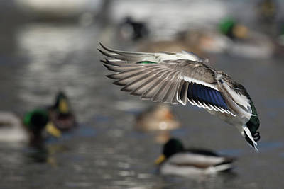 Photograph - Mallard Wings by Paul Freidlund