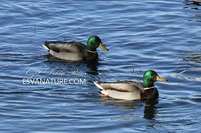 Photograph - Mallards 2689 by Captain Debbie Ritter