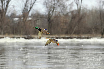 Photograph - Mallards  5894 by Jack Schultz