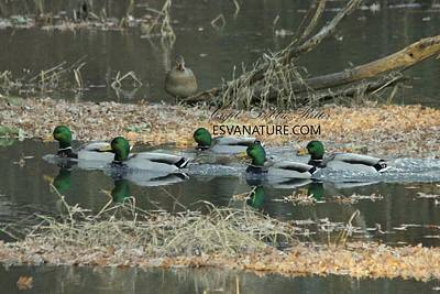 Photograph - Mallards 8195 by Captain Debbie Ritter