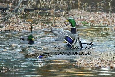 Photograph - Mallards 8218 by Captain Debbie Ritter