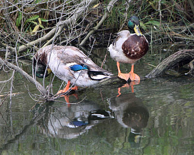 Photograph - Mallards by Captain Debbie Ritter