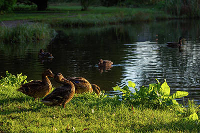 Photograph - Mallards Enjoying The Morning Sun by Ismo Raisanen