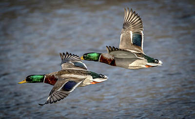Photograph - Mallards Fly By by Ray Congrove