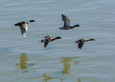 Ducks In Flight Photograph - Mallards Flying Over The Ohio by Jan M Holden