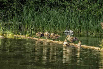 Photograph - Mallards Hanging Out by Belinda Greb