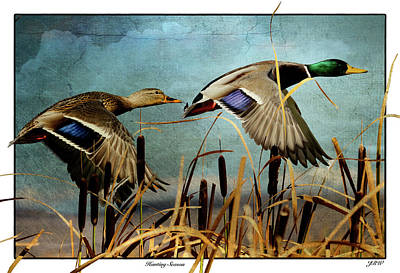 Mallards Hunting Season  Art Print by John Williams