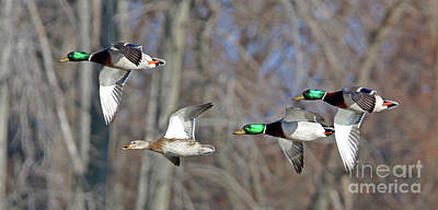 Photograph - Mallards In Flight  6023 by Jack Schultz