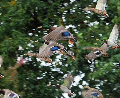 Birds Living In Nature Photograph - Mallards In Flight by Jeff Swan