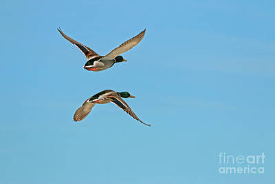 Two Ducks In Flight Photograph - Mallards In Flight by Sharon Mayhak