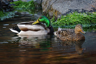 Photograph - Mallards In Tide Pool by Robert Potts